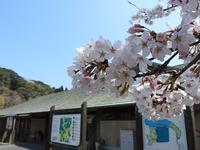お花見日和です - 千葉県いすみ環境と文化のさとセンター