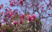 シモクレン(紫木蓮) - ヨモギ日記