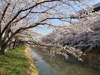 桜づくし - Soramame-Cafe  《そらまめカフェ》