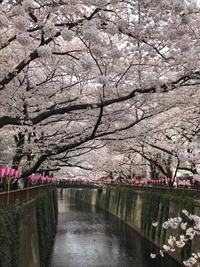 目黒川の桜toまるでケーキなイチゴサンドイッチ - パンのちケーキ時々わんこ