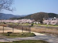 賀茂川の桜もう満開2018年3月28日 - LLC徒然