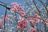 ■サクラサク (4)18.3.28(枝垂れ桜、大島桜、山桜) - 舞岡公園の自然2