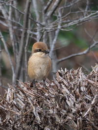 春に踊るモズ - コーヒー党の野鳥と自然 パート2