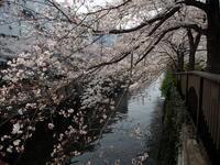 目黒川沿いの染井吉野 - エンジェルの画日記・音楽の散歩道