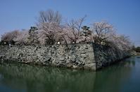 徳島中央公園の桜 - ブナの写真日記