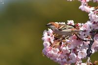 緑バックのニュウナイスズメ - 野鳥公園