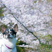 桜お写んぽ - ライ日記