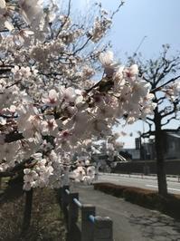 桜満開、春の陽気でそろそろ本格的に下駄の季節です - 下駄げたライフ