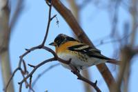 やっと.....アトリ - 北の大地で野鳥ときどきフライフィッシング