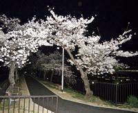 「近くの公園」の桜は満開です - 楽餓鬼