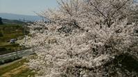 桜から教えてもらったこと - お花とマインドフルネスな時間 ~花工房GreenBell~