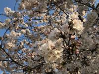気功教室  桜とモッコウバラ - NPO法人オ〜マイダーリンの活動記録