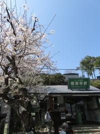 極楽寺の桜 - MIWA  KAMAKURA  SMILE  LIFE