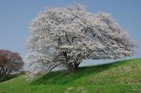 天理 幾坂池ほか 「桜」めぐり - ぶらり記録(写真) 奈良・大阪・・・