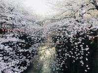 目黒川の桜☆ - まなバナ