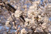 桜も、菫も、土筆も、みんな早い! - 虫籠物語