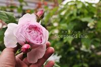 インリッシュローズで外せない5つのピンクの薔薇 - カヲリノニワ