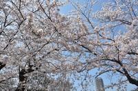 2018 ヴェルニー公園桜7 - 素顔のままで