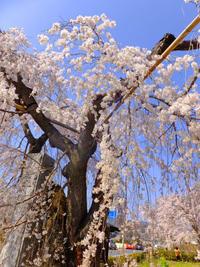 長瀞の桜3月29日(木) - しんちゃんの七輪陶芸、12年の日常