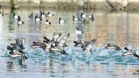 スズガモ - 北の野鳥たち