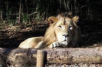 インドライオンの「バドゥリ」 - 動物園放浪記