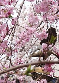 2018年3月○○日 桜鯛 - 駅西の小さなご飯屋