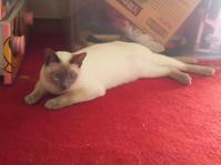 Minkwin tonkinese. - MINKWIN Cattery &Pretty Aki