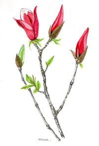 咲く前が魅力的な、木蓮。 - がちゃぴん秀子の日記