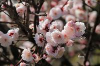 桜を待つ梅の花 - 晴れ時々そよ風