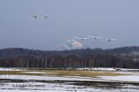 白鳥が行く、マガンも行く - ekkoの --- four seasons --- 北海道