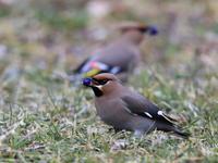 キレンジャク - 『彩の国ピンボケ野鳥写真館』