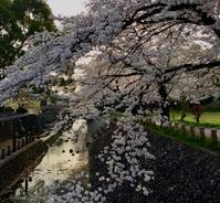 咲き誇る桜 - 美は観る者の眼の中にある