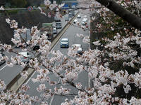 桜が咲いた日<満開の遊歩道> - Wakaba photos