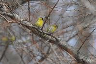 マヒワ・・・きれいな黄色 - 赤いガーベラつれづれの記