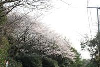 きょうの桜3月29日 - 出不精日記