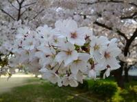 お花見がてらのお散歩へ - 38歳バツイチ女、リウマチに なっちゃいまして…。