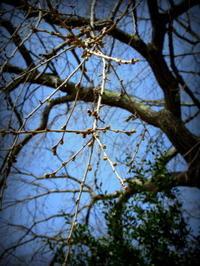 3月29日*軽井沢の桜は、まだ固い蕾です。 - ぴきょログ~軽井沢でぐーたら生活~