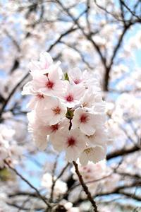 今年の桜 - SUGAR & BUTTER
