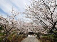 北鎌倉 建長寺の春 - tokoya3@