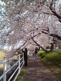 桜満開 - アイアン工房 製作ブログ
