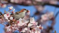 美味しそう!桜の蜜を吸うニュウナイスズメ - Life with Birds 3