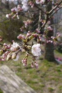 桜だより②〜開花宣言と土筆とり〜 - CROSSE 便り