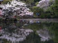 吉祥寺周辺、桜の花が見頃になってきました。武蔵野桜開花・花見情報 - contemporary creation+ ART FASHION DESIGN