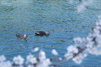 #DP3m 花盛り大阪大川#桜 - 関西ウォーカー自遊人 Trial