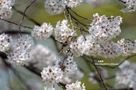 満開の桜にニュウナイスズメ - azure 自然散策 ~自然・季節・野鳥~