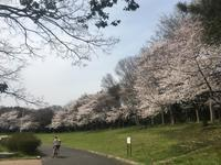 2018 03 27 春爛漫桜と色々なお花 - soyokaze3の日記