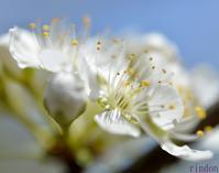 春の使者Ⅱ  ミヤマセセリとコツバメ - 旅のかほり