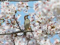 満開の桜の中で、、 - ぶらり探鳥