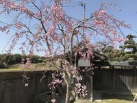 枝垂れ桜七分咲きを見てお大師講の食事会へ~ - 島暮らしのケセラセラ