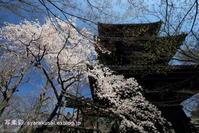 真如堂の桜2 - 写楽彩